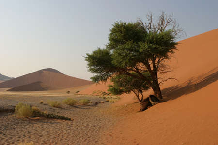 sossusvlei: green tree standing at the bottom of a red dune in the namibian desert Stock Photo