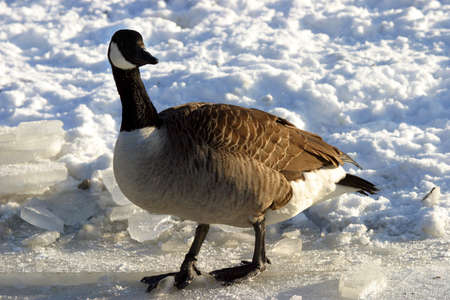 nip: canadian goose standing on a frozen lake Stock Photo