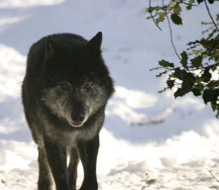 black wolf in the canadian winter staring at the camera
