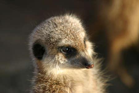 spectating: little meerkat spectating something interesting Stock Photo
