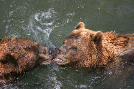 two kissing brown bears in a canadian river photo