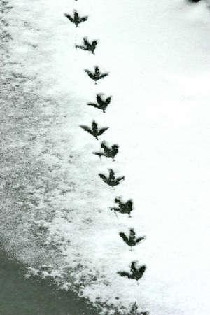 spoor: spoor of bird footprints on a frozen lake