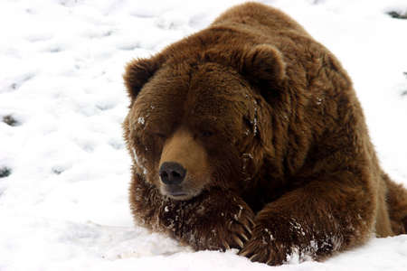 Huge brown bear resting in the snow during a cold winter day Stock fotó - 12725528