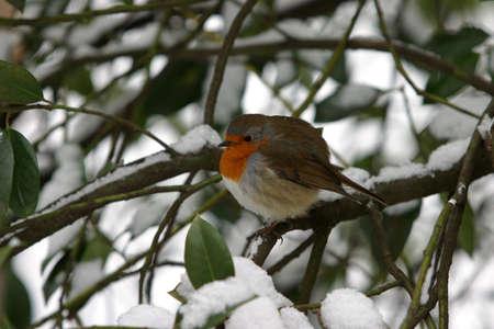 Little robin bird sitting in a tree in wintertime photo