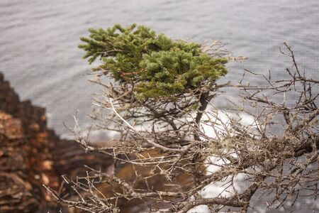 shaped: tree shaped by the wind Stock Photo