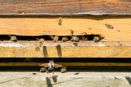 Bees at the entrance to their hive.