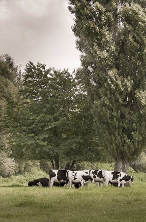 Young bulls under a tree in the meadows. Reklamní fotografie