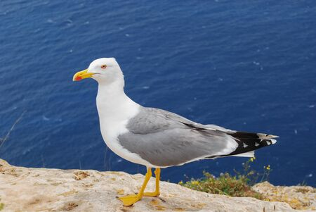 Sea gull on a cliff observes the photographer exactly. Banco de Imagens