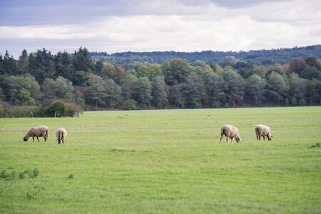 Sheep in their pasture graze in front of a grove. Imagens