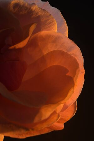 Close-up of the petals of a a pink pink in orange candlelight.