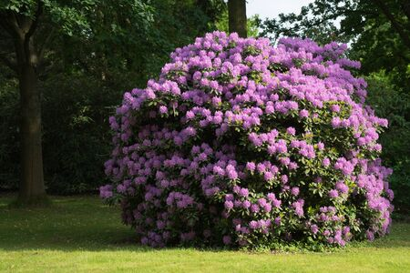 Blooming Rhododendron Bush on a glade in the park.