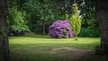 Violet rhododendron bush on a glade in the park, framed by old trees.
