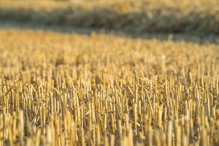 Cut off straws on a harvested field in July. Close-up. Selective focus.