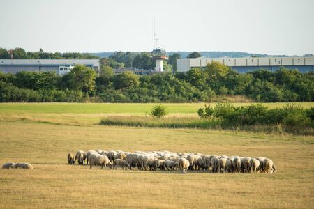 Flock of sheep in the pasture in front of a local airport. Focus on sheep.