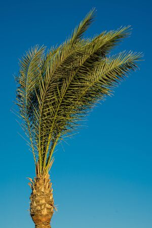 Single palm tree isolated against the blue sky.
