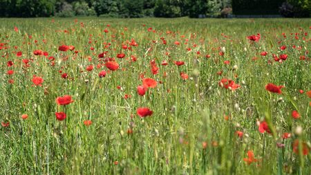 Wild poppies on an uncultivated meadow in the midday sun on a May day.