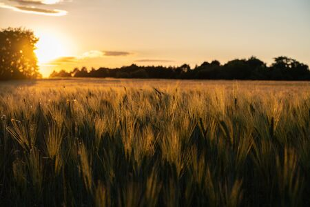 Golden sunset between trees on the edge of a rye field.