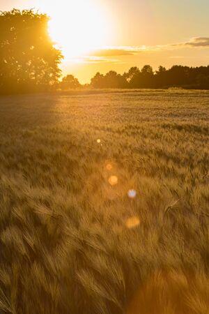 Golden sunset along trees on the edge of a rye field. Reklamní fotografie
