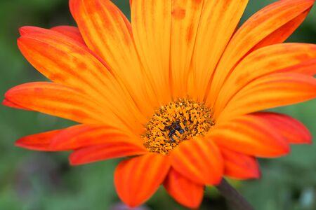 Arctotis Golden Orange Banco de Imagens