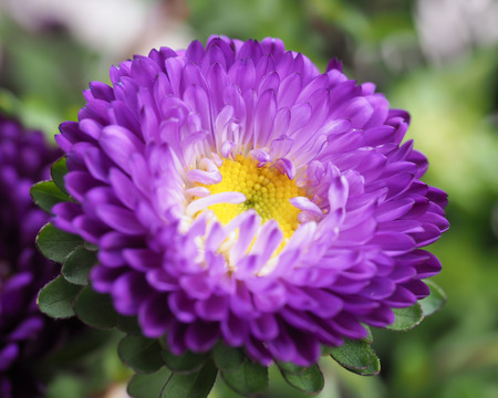 aster: Aster Purple