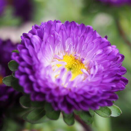 Aster Purple 3