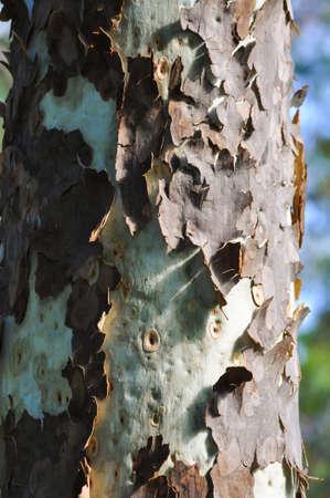 Bark Peeling 2