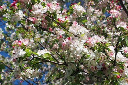 crab apple tree: Crab Apple Blossoms