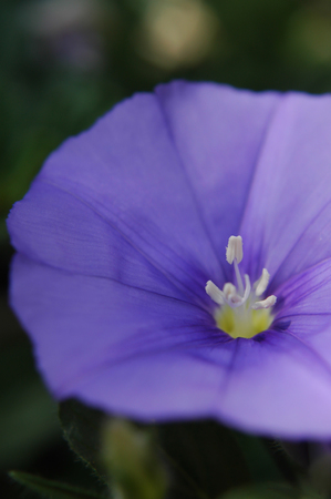 convolvulaceae: Convolvulus Flower Purple Stock Photo