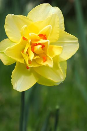 daffodil: Daffodil Double Yellow Orange