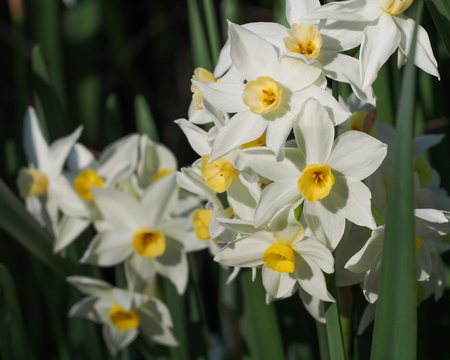 jonquil: Jonquils White Yellow