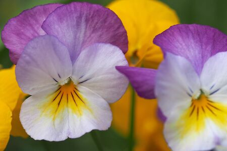 violas: Violas Yellow Purple