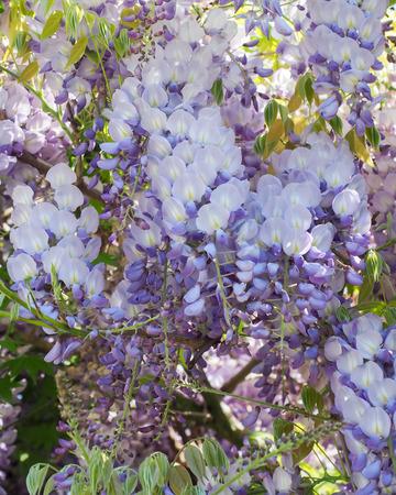 wistaria: Wisteria Flowers Mauve