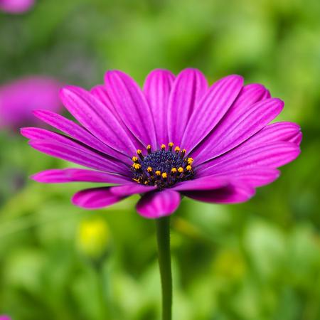 daisy pink: Daisy Pink Purple