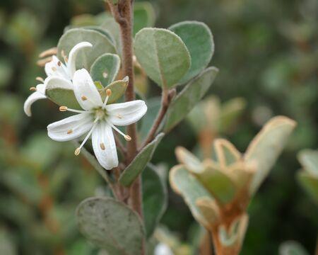 Gelbe Banksia Blume, Getrennt Auf Weiß. Australischer Einheimischer ...