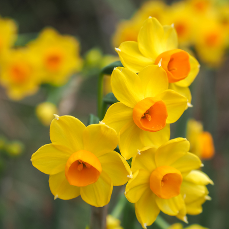 jonquil: Bright yellow and orange Jonquil flowers in closeup. Stock Photo