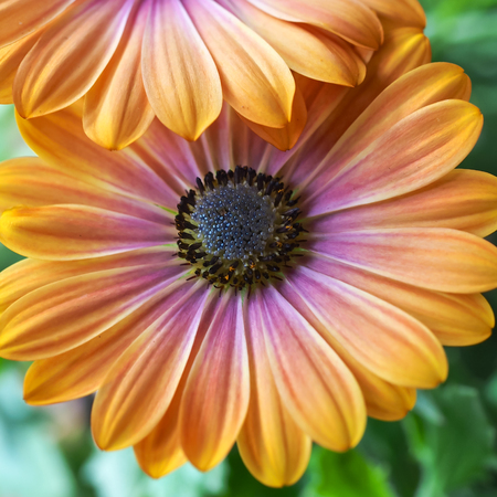 osteospermum: An Osteospermum daisy flower with distinctive peach-yellow and pink-mauve colored petals. Stock Photo
