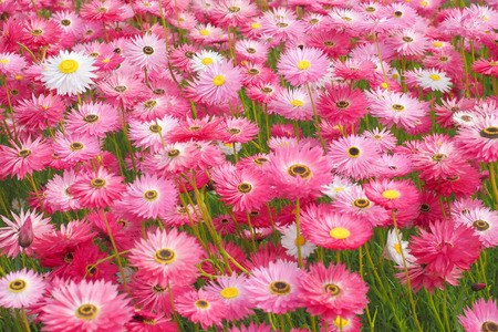 mass flowering: Mass planting of pink paper daisies, everlasting daisies, rodanthe. A native Australian flowering plant.