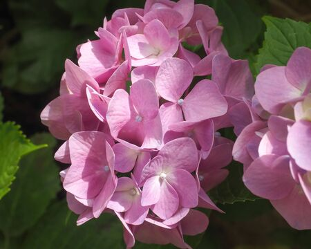 Closeup of the pink and mauve bracts of a hydrangea flower-head, before the tiny flowers have opened. Bathed in natural sunlight.