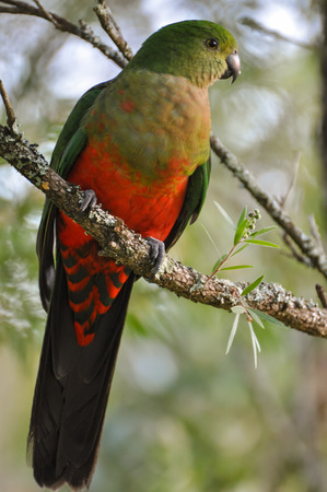 king parrot: Young male King Parrot, a native Australian bird, perched on a tree branch. Endemic to eastern Australia. Stock Photo