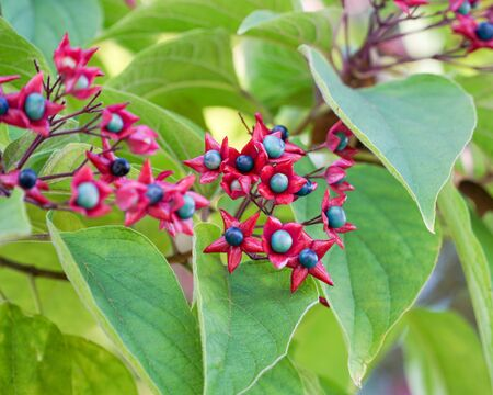 Clerodendrum trichotomum seed pods and leaves closeup, showing the distinctive bright red calyxes. Stock Photo