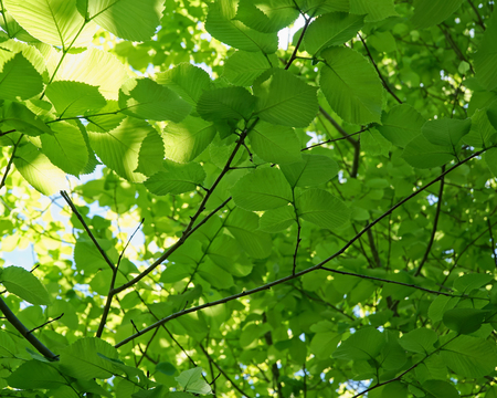 Looking up into the canopy of a tree with rounded bright green leaves. Banco de Imagens