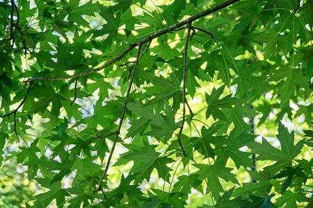 Looking up into the canopy of a Liquidambar tree, branches and leaves. Banco de Imagens