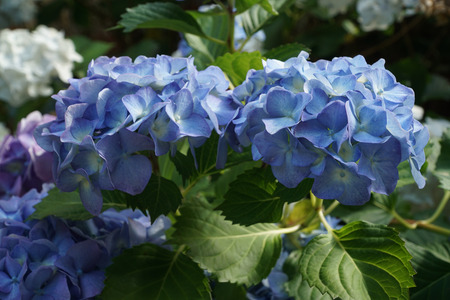 Blue Hydrangea bracts, with green leaves in background.