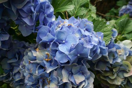 Blue Hydrangea flower bracts beginning to fade, and change colors, with age.