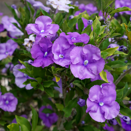 Bright mauve Brunfelsia flowers, on the plant, surrounded by leaves. Stock Photo