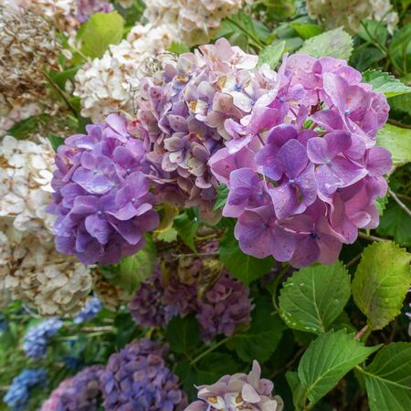 Pink Hydrangea flower bracts beginning to fade, and change colors, with age.
