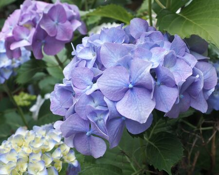 Blue and mauve Hydrangea bracts, with white Hydrangea in background.
