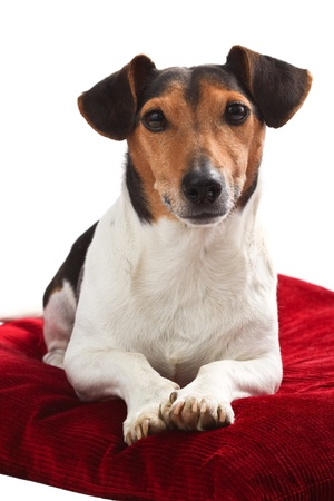 Jack Russell portrait on red pillow isolated