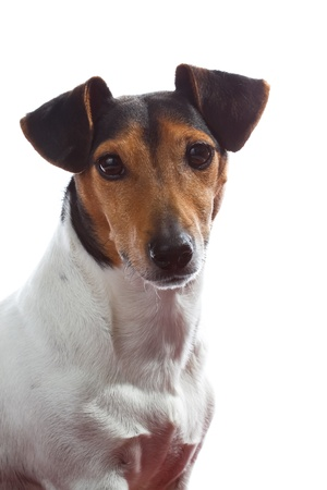 Jack Russell portrait isolated Stock Photo