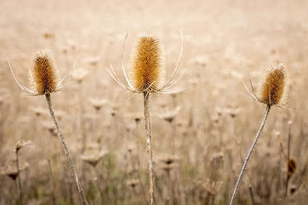 a field of dried brown thistle in the spring time